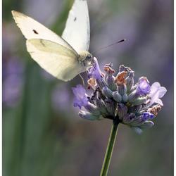 vlinder vs. lavendel