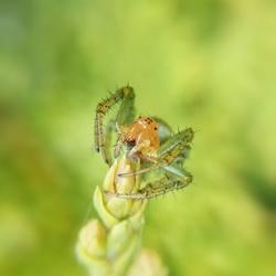 Green spider.