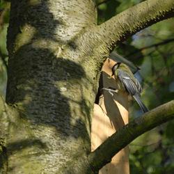 Koolmees met rusp naar nest