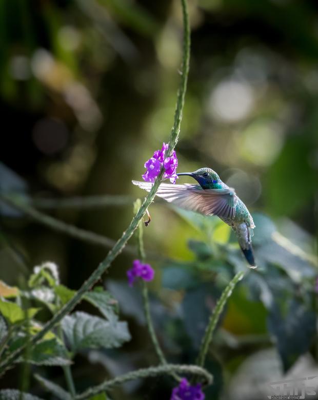 Kolibrie in het wild  - Wat zijn het toch fascinerende vogels!