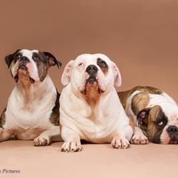 Amerikaanse Bulldogs