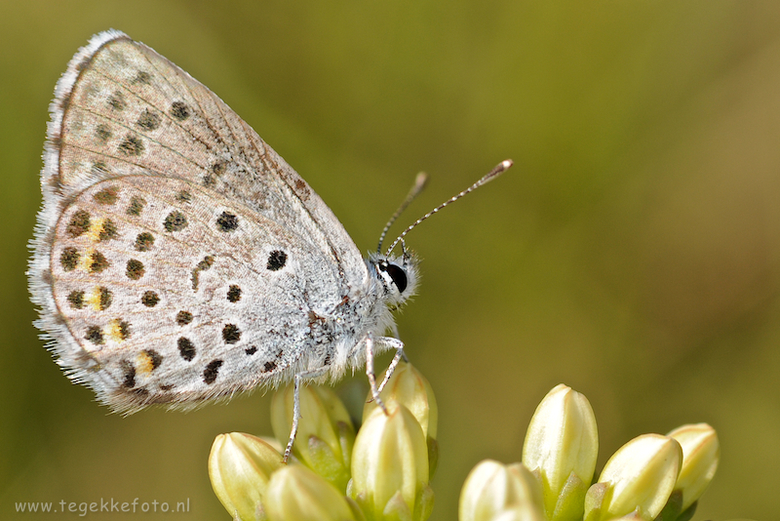 """klein tijmblauwtje - het werd weer eens tijd voor een vlindermacro <img  src=""""/images/smileys/smile.png""""/> Hier het klein tijmblauwtje nog uit het gro"""