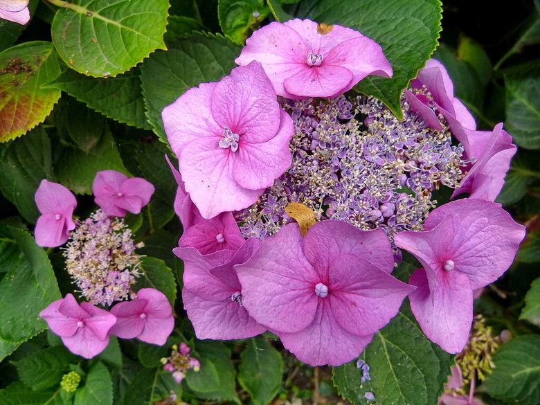 Hortensia. - Het gewas is vernoemd naar een vrouw, maar is niet met zekerheid bekend welke.<br /> <br /> 13 augustus 2012,<br /> Groetjes Bob.<br /