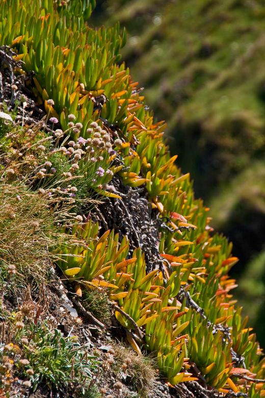 Engels vetplantje (1) - Op de rotsen aan de Engelse kust ben ik prachtige vetplantjes tegengekomen zoals deze op de rotsen nabij Tintagel castle. Ik m