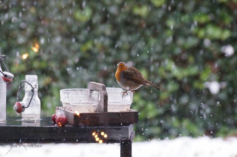Roodborstje die smult van Havermout! - Roodborstje in de sneeuw lkkr smullen van Havermout.