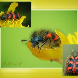 Bijenwolf Collage!!