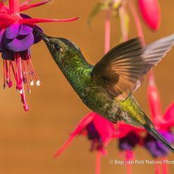 vrouwtje paarskop kolibrie