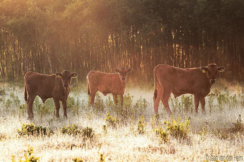 Three Young Sayaguesa Calves  -