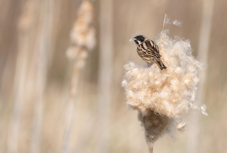 Pluizig - Rietgors bezig met het verzamelen van nest materiaal.