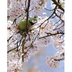 Blossombird.