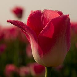 tulp eigenwijs
