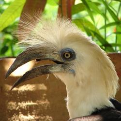 White Crested Hornbill