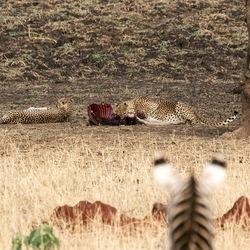 zebra kijkt naar etende cheeta's