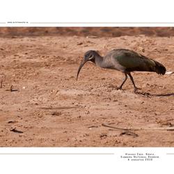 Hadada Ibis, Kenia