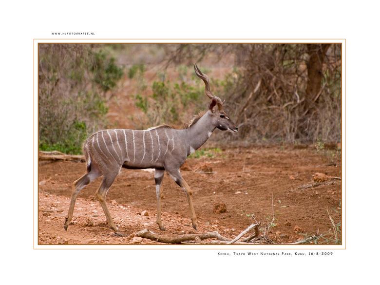 Kudu, Kenia - Met een schouderhoogte van 1.5m en een maximaal gewicht van 260 kilo is de Koedoe de op een na grootste antilope in Afrika. De grote ron