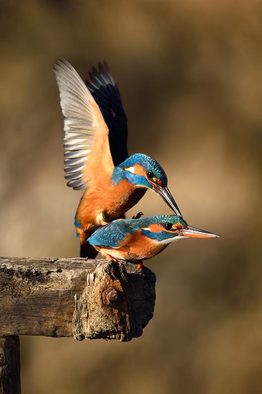IJsvogeltjes love...