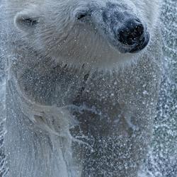 The Cool Polar Bear