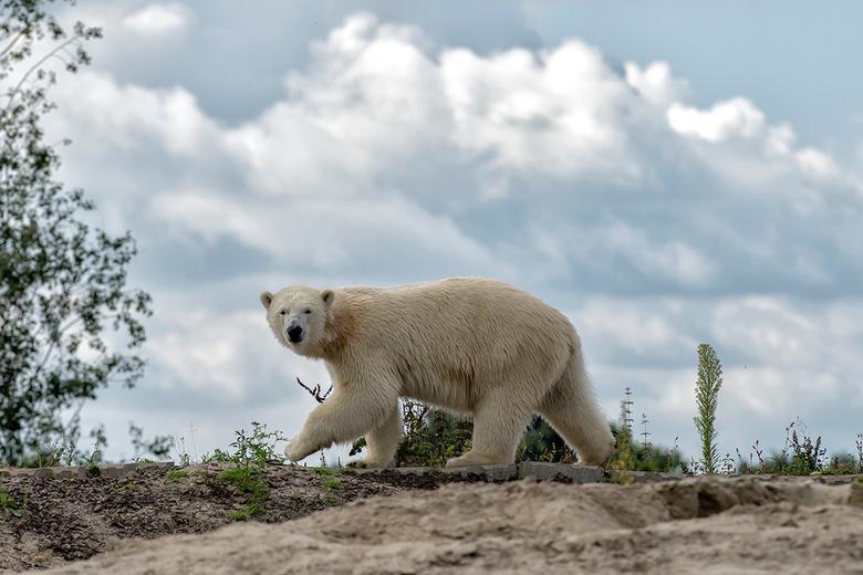 ijsbeer (Wildlands)