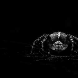 Spider by night
