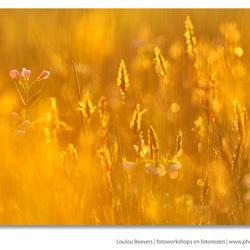 Golden awakenings