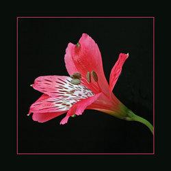 Alstroemeria