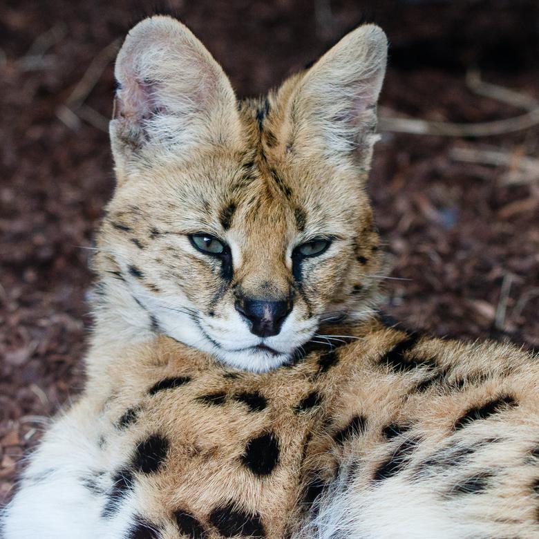 Serval in Blijdorp - Nog een serval, echter deze keer gefotografeerd in Blijdorp. Vooral de grote oren en het in verhouding kleine koppie van deze kat
