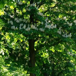 rijen bomen met bloesem
