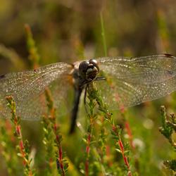 Libelle warmt en droogt zich op in de ochtenzon