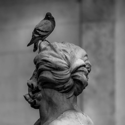Romeinse duif