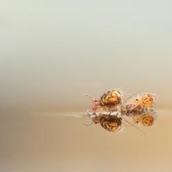 Springstaartjes op water