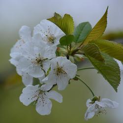 Voorjaarsbloesem.