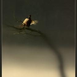 fazant