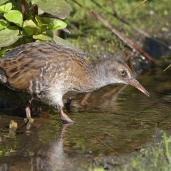 Jonge Waterral (Rallus quaticus)