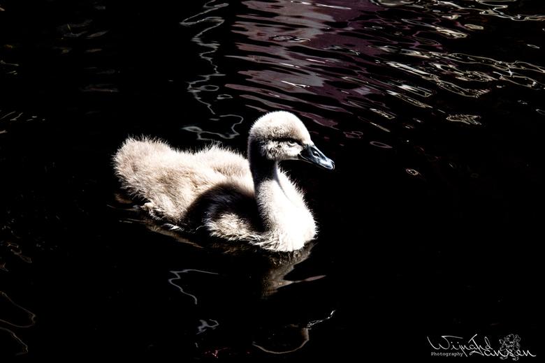 No swans dance