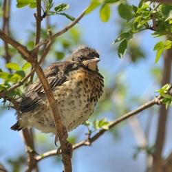 jonge kramsvogel