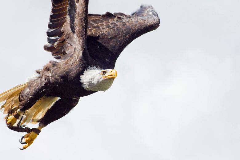 Doelgericht - Zeearend bij roofvogelshow in Safaripark Beekse Bergen