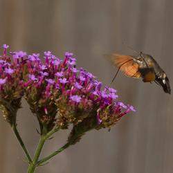 Kolibrivlinder 2