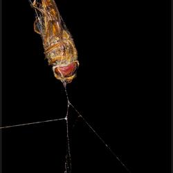 Zweefvlieg gevangen