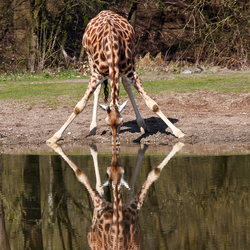 Rothschildgiraffe drinkend in Burgers' Zoo