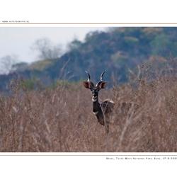 Kudu, Tsavo West NP
