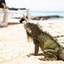 Leguaan strand curacao carina meijer lumixS1 fotofunreizen_P1007098
