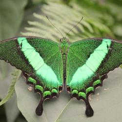 groene vlinder