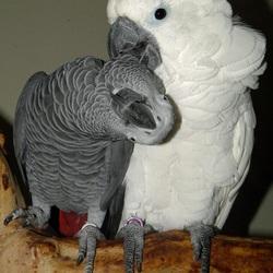 Witkuifkaketoe Maxi verzorgt veertjes van Grijze Roodstaart papegaai Alex.