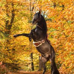 Spanisch Stallion