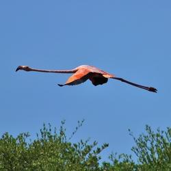 Flamingo in vlucht.