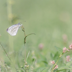 Koolvlinder