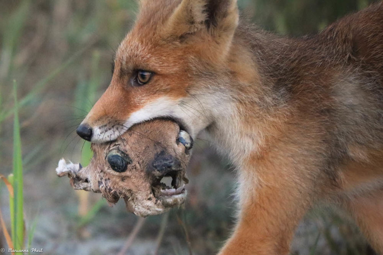 Jonge vos heeft nieuw speeltje  - Dit jonge vosje had een hoop plezier met de overblijfselen van het hertenkopje... er werd mee gerend, gegooid en om