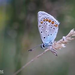 Blauwtje