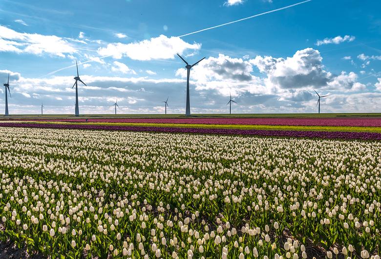 Noordoostpolder tulpen -