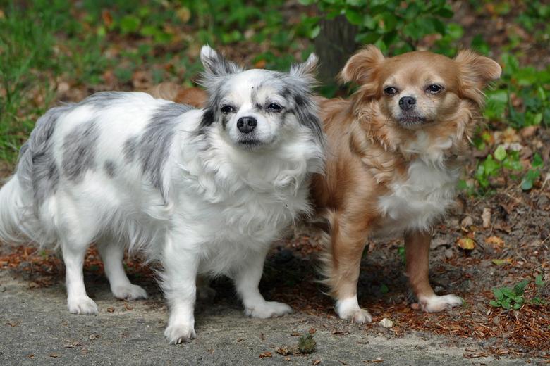 Panorama Wandelroute Posbank: Mijn Chihuahua's Lisa & haar moeder Vicky